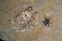 Zeltdachspinne, Zeltdach-Spinne, Gespinst, Netz, mit Beute, Beuteresten, Uroctea durandi, Oecobiidae, Scheibennetzspinnen