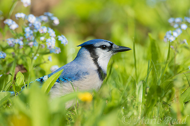 Blue Jay (Cyanocitta cristata) perched on lawn among flowering forget-me-nots in spring, New York, USA