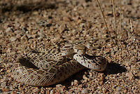 Gopher Snake seen an the Sonora desert floor in southern Arizona on a spring day.