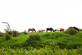 JAMAICA, Port Antonio. Horses eating grass along the highway in the city of Port Antonio.