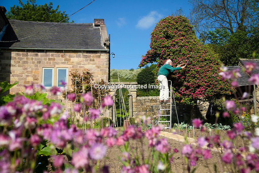 "20/05/17<br /> <br /> David Shawcross, 85, gives his giant 18ft tall topiary its spring time trim.<br /> <br /> The couple moved into their home in Callow, near Wirksworth, Derbyshire in 1966. The house was partially derelict and the garden had been neglected for decades. But one spindly hawthorn sapling soon caught the couple's eyes. David, a retired art teacher said: ""We didn't choose it, it chose itself. It began to grow into a ragged and ramshackle bush but clearly had the shape of a chick. So I began to clip it to help it along. . It gets one big trim in the autumn but I always tidy it up during the Easter holiday too.""<br /> <br /> <br /> All Rights Reserved, F Stop Press Ltd +44 (0)7765 242650 www.fstoppress.com rod@fstoppress.com"