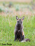 Cross (red) fox. Grand Teton National Park, Wyoming.