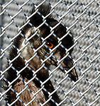 HOLTSVILLE,NY-JANUARY 31, 2007: An Emu seen through it's wire mesh enclosure at the Wildlife and Ecolocical Education Center at Holtsville Park in Holtsville on Wednesday, January 31, 2007. (Newsday Photo / Jim Peppler).