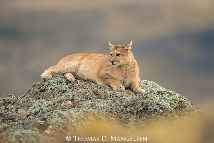 A puma rests on a rock in Patagonia, Chile.