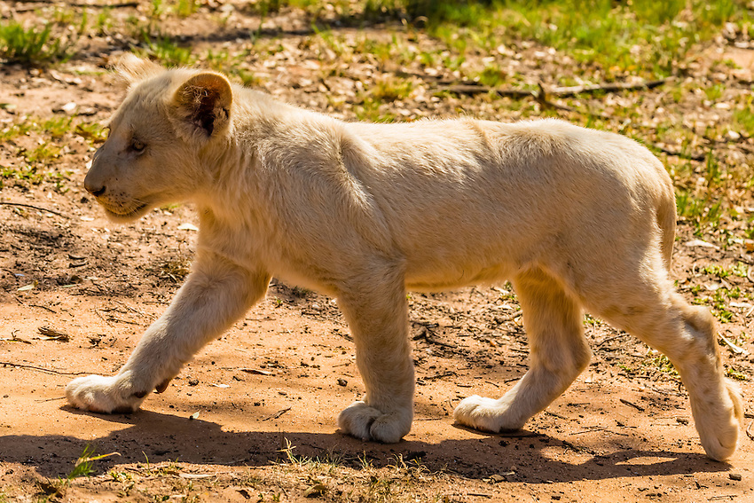 A white lion cub, Lion Park, Johannesburg, South Africa. The white lion is a rare color mutation of the Timbavati region of South Africa.