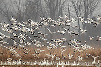 Snow geese populations reach about 20,000 in late November and early December at Sequoyah National Wildlife Rufuge nestled in gently rolling foothills of the Ozark Mountains.
