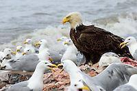 A bald eagle sits atop a fish carcass pile as Glaucous-winged gulls await their chance to grab a meal on the beach near Ninilchik, Alaska.