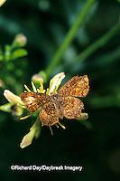03263-00203 Fatal Metalmark butterfly (Calephelis nemesis) Starr Co. TX
