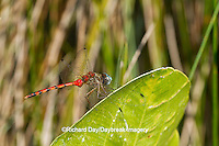 06652-00709 Blue-faced Meadowhawk dragonfly (Sympetrum ambiguum) male perched near wetland, Marion Co., IL