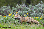 Red fox vixen with prey in wildflowers. Grand Teton National Park, Wyoming.