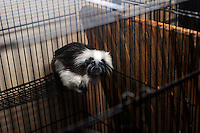 Cotton Topped Tamarin for sale at 630,000 yen (7,000 US$). The animals are for sale in the world's most exotic pet shop called Noah Inner City Zoo that claims to have more than 300 species for sale, many are exotic and rare animals - some endangered.