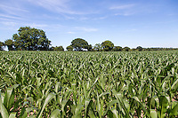 Maize grown for anaerobic digestion feedstock - July