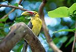 Saffron toucanet, Brazil
