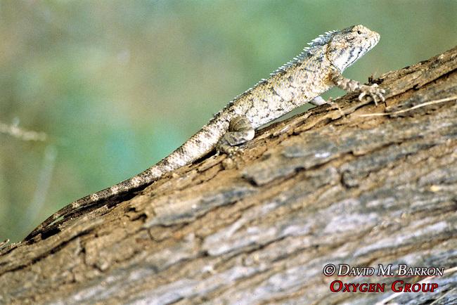 Female Garden Lizard