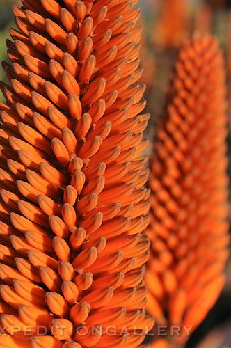 Aloe flowers (Aloe sp.), Kirstenbosch National Botanical Garden, Cape Town, South Africa.