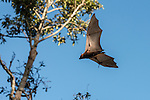 Little Red flying fox in flight. The little red flying fox (Pteropus scapulatus) is a species of megabat native to northern and eastern Australia. With a weight of 280–530 grams it is the smallest flying fox in mainland Australia.  It has the widest range of all the species, going much further inland than the larger fruit bats. Its diet primarily consists of nectar and pollen of eucalypt blossoms, the pollination of which it is largely responsible. The little red flying fox is nomadic, and can be found in large groups of up to a million individuals. This species gives birth six months later than the other mainland flying fox species, in April and May.