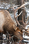 Elk in the woods in winter nibbling on small shrubs, twigs and branches