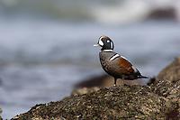 Harlequin Duck (Histrionicus histrionicus) Drake.   Pacific Northwest Coast.