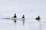 Hooded Merganser Drakes courting a hen at the Lee Metcalf Wildlife Refuge in Montana