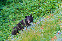 Black Bear (Ursus americanus) among subalpine wildflowers.  Pacific Northwest, summer.