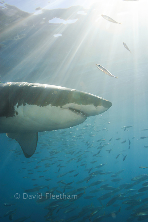 This great white shark, Carcharodon carcharias, was photographed off Guadalupe Island, Mexico.