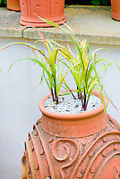 Variegated corn Zea mays, Ornamental grass like plant in ornamental terra cotta glay pot container planter, upright growth