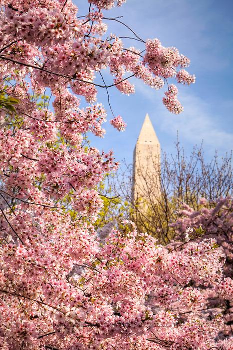 Cherry Blossoms Washington Dc Washington Dc Stock Photography