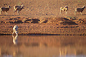 Sheep drinking at dam early morning, outback Queensland
