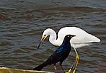 "A Snowy Egret (egretta thula) and Boat-tail Grackle (quiscalus major) create  a ""Black  on White "" image, Barnegat Bay salt marsh, NJ"