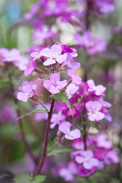 Lunaria annua 'Chedglow', a cultivated form of Honesty, a hardy biennial flowering from April to early May with chocolate leaves and lilac flowers growing to 3' (100cm).