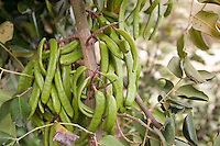 Johannisbrotbaum, Johannis-Brotbaum, Früchte am Baum, Karoben, Ceratonia siliqua, Carob, St John´s Bread, Caroubier