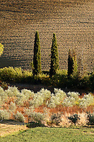 Olive trees and agricultral field at sunset, San Quirico d'Orcia, Tuscany, Italy