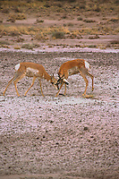 RUMINANTS<br /> Male Pronghorns Locking Horns In Petrified Forest<br /> Pronghorn antelope (Antilocapra americana)