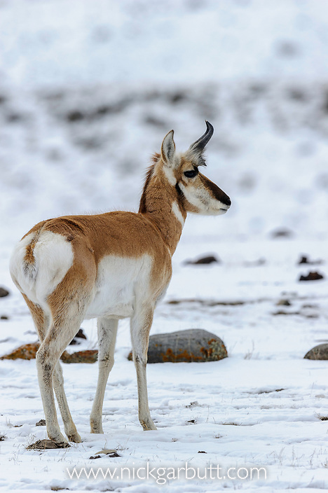 American  Pronghorn (Antilocapra americana) (erroneously sometimes called an 'antelope') near Gardiner, Yellowstone National Park, Wyoming/ Montana, USA. January