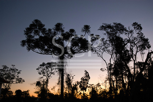 Fazenda Bauplatz, Parana State, Brazil. Araucaria tree at sunset.