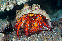 white-spotted hermit crab, Dardanus megistos, Ambon Island, Maluku Islands or Moluccas, Indonesia, Banda Sea, Indo-Pacific Ocean
