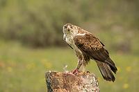 Aquila fasciata<br /> <br /> Bonelli's eagle with prey.