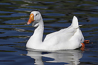 Domestic Swan Goose (Anser cygnoides)