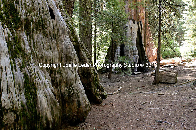 Nelder Grove, Sierra National Forest, Madera County, Oakhurst California, Photos by {The Studio} Yosemite and Joelle Leder Photography Studio &copy;, <br />