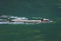 American Beaver,Castor canadensis, Glacier National Park, Montana, USA, July 2007