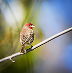 Finches, Sparrows and Wrens