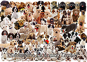 Kim, ANIMALS, REALISTISCHE TIERE, ANIMALES REALISTICOS, fondless, photos,+Puppies montage jigsaw.,puppies, montage, jigsaw, animals, cats, pets, dogs, alsatians, gsds, collies, spaniels, retrievers,+terriers, mongrel, pups, play, playful, playing, families, cute, adorable, lovely, lovable, tabby, shorthair, kittens, rabbit+s, bunnies, white background++,GBJBWP02997,#a#, EVERYDAY ,puzzle