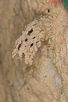 Gemeine Schornsteinwespe, Schornstein-Wespe, Schornsteinförmiger Nesteingang aus Lehm, Odynerus spinipes, Oplomerus spinipes, Spiny Mason Wasp, Lehmwespe, Lehmwespen, Eumenidae