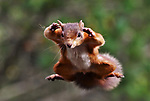 Red squirrels fly through the air superman-style