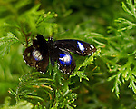 Male Great Eggfly flutters with wings spread against a background of green fern-like leaves.