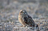 01113-01120 Short-eared Owl (Asio flammeus) on ground near Prairie Ridge State Natural Area, Marion Co., IL