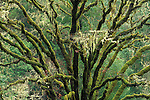 Moss-draped oak tree, Armstrong Redwoods State Reserve, California
