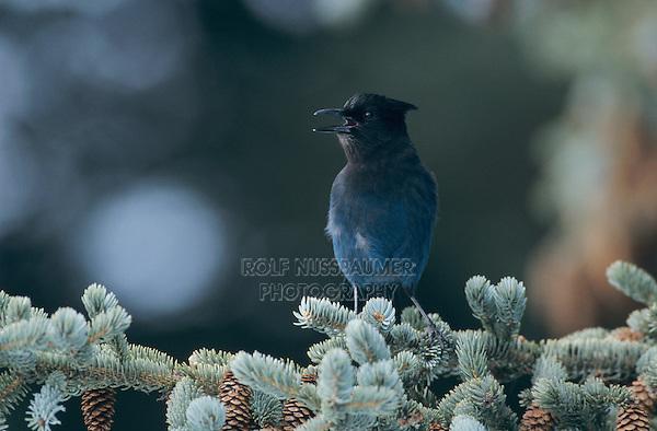 Steller's Jay, Cyanocitta stelleri, adult calling on Spruce, Homer, Alaska, USA