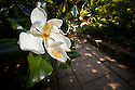 one of the last blooms for the year on a southern magnolia at the upper entrance to the terrace garden in the Sarah P. Duke Gardens