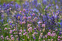 Spring wildflowers, Plectritis congesta - Rosy Plectritis (aka Shortspur Seablush) with Camass (Camassia quamash)- Camassia Nature Preserve, The Nature Conservancy protected park, Portland Oregon